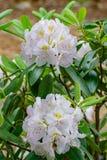Rhododendron-Maximum-großer Rhododendron lizenzfreie stockfotos