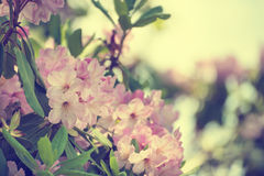 Rhododendron maximum pink flowers Royalty Free Stock Photos