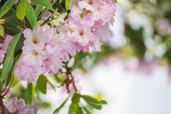 Rhododendron maximum pink flowers Royalty Free Stock Images