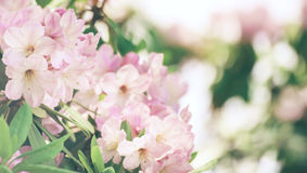 Rhododendron maximum pink flowers Stock Photos