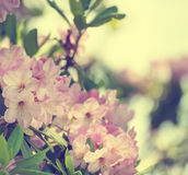 Rhododendron maximum pink flowers Royalty Free Stock Photography