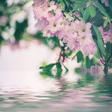 Rhododendron maximum pink flowers Stock Photography