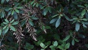 Rhododendron med den döda ormbunken och snö som faller i trädgård lager videofilmer