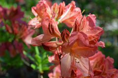 Rhododendron molle japonicum. Beautiful pink flowers Royalty Free Stock Photos