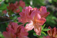 Rhododendron molle japonicum. Beautiful pink flowers Royalty Free Stock Photo