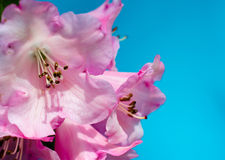Rhododendron Moonstone Royalty Free Stock Photography
