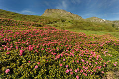 Rhododendron in the mountain Stock Images