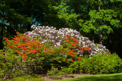 Rhododendron mountain Royalty Free Stock Image