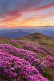 Rhododendron in mountains Royalty Free Stock Images