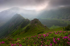 Rhododendron in mountains Carpathians Stock Photo