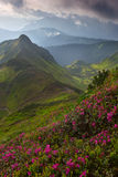 Rhododendron in mountains Carpathians Royalty Free Stock Images