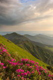 Rhododendron in mountains Carpathians Stock Images