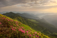 Rhododendron in mountains Carpathians Royalty Free Stock Photography