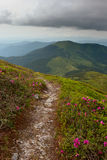 Rhododendron in mountains Carpathians Stock Photography