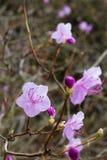 Rhododendron mucronulatum Stockfotos