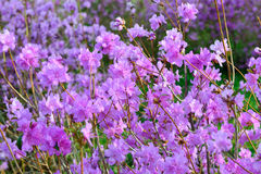 Rhododendron mucronulatum Στοκ εικόνα με δικαίωμα ελεύθερης χρήσης