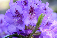 Rhododendron mucronulatum Στοκ φωτογραφία με δικαίωμα ελεύθερης χρήσης