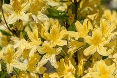 Rhododendron mucronulatum Στοκ Εικόνες