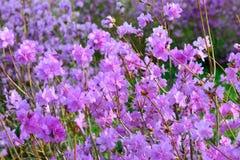 Rhododendron mucronulatum Royalty Free Stock Image