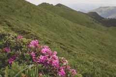 Ciucas Mountains. Rhododendron myrtifolium blooming on the slopes of Ciucas Mountains Royalty Free Stock Image