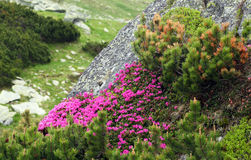 Rhododendron in National Park Retezat Stock Photos