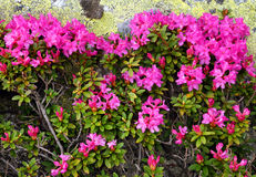 Rhododendron in National Park Retezat Royalty Free Stock Photos