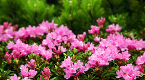 Rhododendron in National Park Retezat Stock Image