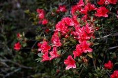 Rhododendron ; naturel dans un sauvage Image stock