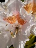 rhododendron foto de stock royalty free