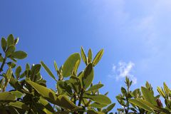 Rhododendron new leaves with spring sky. Fresh new rhododendron leaves brighten from spring sunshine against blue sky royalty free stock photo