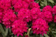 Rhododendron`-Nova Zembla `, Royaltyfri Fotografi