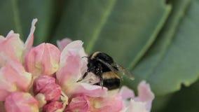 Rhododendron- och bidrinknektar stock video