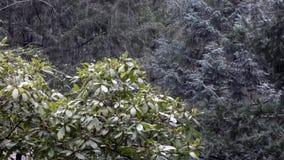 Rhododendron och sörjer i skog i Stillahavs- nordvästlig snö stock video