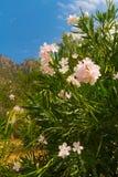 Rhododendron oleander i Grekland Royaltyfri Foto