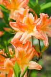Rhododendron, orange flowers Royalty Free Stock Photo