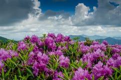 Rhododendron på Jane Bald royaltyfria foton