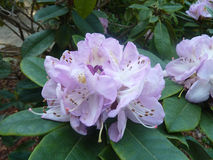 Rhododendron pale pink Stock Photos