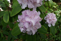 Rhododendron pale pink Royalty Free Stock Photography