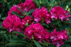 Rhododendron Pearces American Beauty. Shrub of azaleas in ruby color. Scarlet, red, azaleastrum. Alpine rose is bloom. Potted gard royalty free stock photo