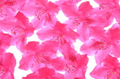 Rhododendron petals Stock Photography