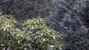 Rhododendron and pines in forest in pacific northwest snow. Storm stock video
