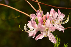 Rhododendron. Pink beautiful rhododendron flower in the garden Royalty Free Stock Images
