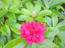 A rained-on rhododendron 1 stock photos