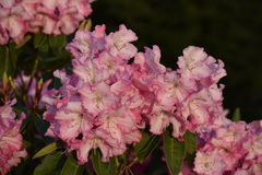 Rhododendron Royalty Free Stock Photography