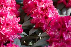 Rhododendron pink red flowers background Stock Images