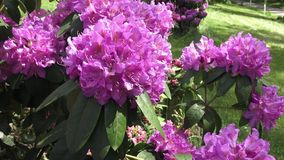 Rhododendron pink. Flower fresh blooming on the park stock video
