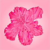 Rhododendron pink separate flower vector Royalty Free Stock Photos
