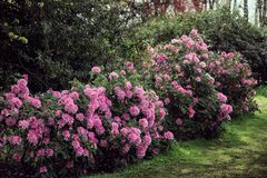 Rhododendron plants in bloom. Pink flowers, Azalea bushes in the park stock photos
