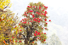 Rhododendron plants are the Himalayas, on the mountain Stock Image