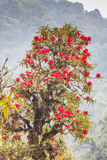 Rhododendron plants are the Himalayas, on the mountain Royalty Free Stock Images